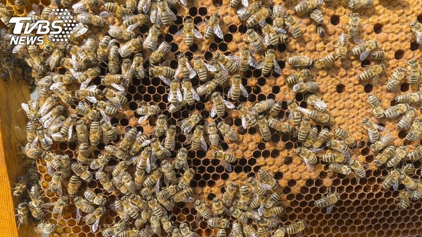 示意圖/TVBS 晶片記錄蜜蜂飛行軌跡  盼找出消失原因