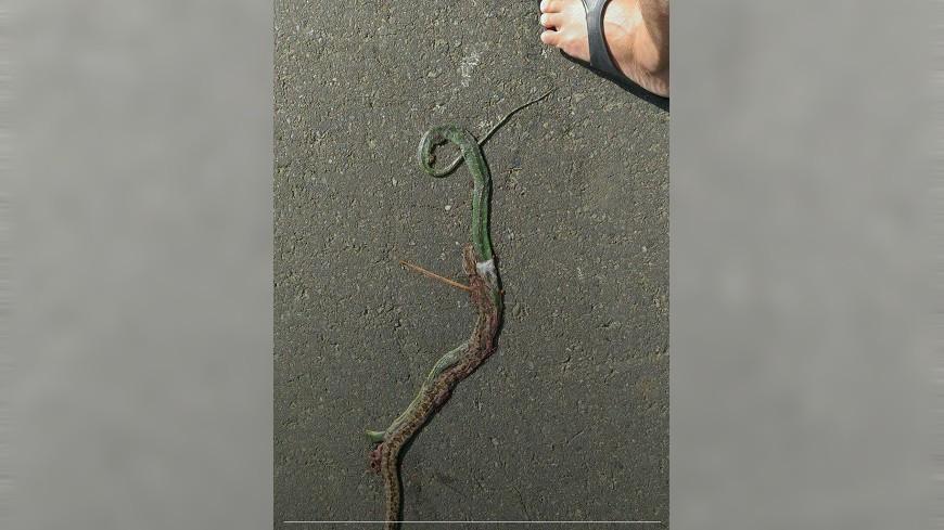 龜殼花在馬路上吞青蛇吞到一半,慘遭車輪輾斃。圖/爆料公社 這樣太危險! 龜殼花「邊走邊吃」 慘死輪下2命嗚呼