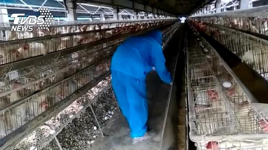 圖/TVBS 毒蛋來自彰化 三家養雞場日產3萬顆蛋
