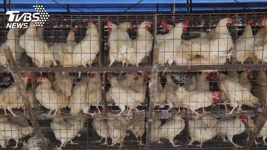 圖/中央社 雙北屠宰場確診禽流感 染病雞隻已銷毀
