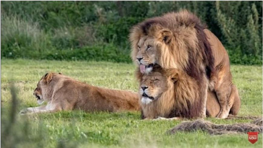 2頭公獅子正在上演斷背情,一旁的母獅子識相地撇頭。(圖/翻攝自YouTube) 公獅上演「斷背情」 母獅尷尬撇頭眼不見為淨