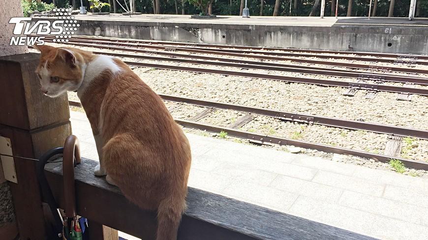 圖/中央社 貓咪以火車站為家 可愛模樣彷彿貓站長