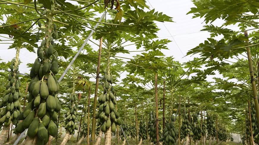 圖/中央社 26歲青農返鄉種木瓜 打敗3連冠父親