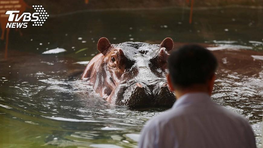 圖/中央社 北市動物園河馬新家開幕 一睹水下習性