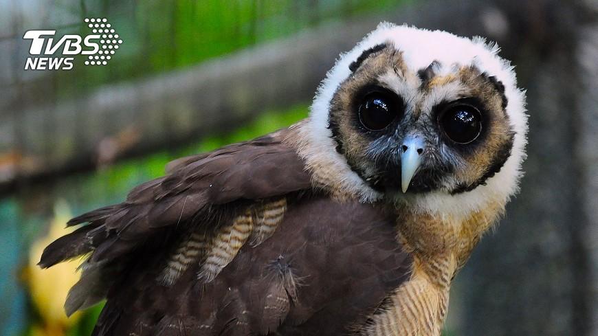 圖/中央社 大眼睛褐林鴞搬新家 事前接受飛行訓練