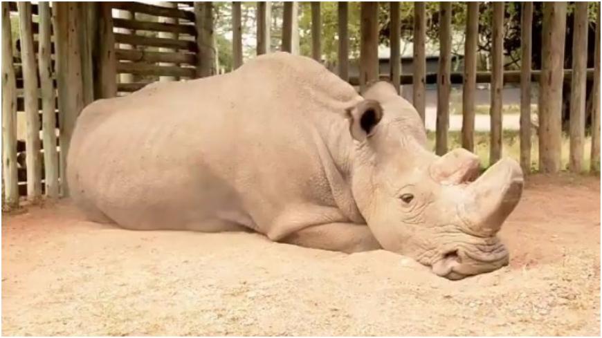 圖/取自Daniel Schneider推特 全球最後一隻…瀕滅白犀牛孤單趴地 落寞神情心碎