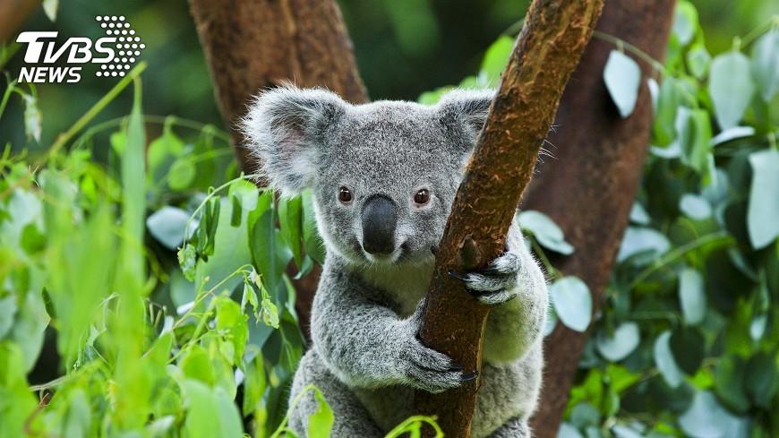 澳洲无尾熊惨遭割耳 动物残害潮添疑云
