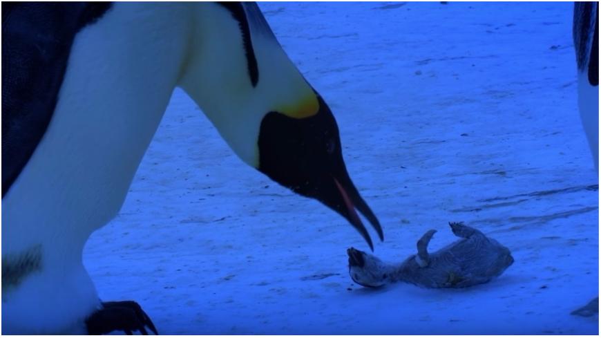 圖/擷取自影片,下同。 寒風無情…企鵝寶寶成「冰凍乾屍」 母長嘯痛哭