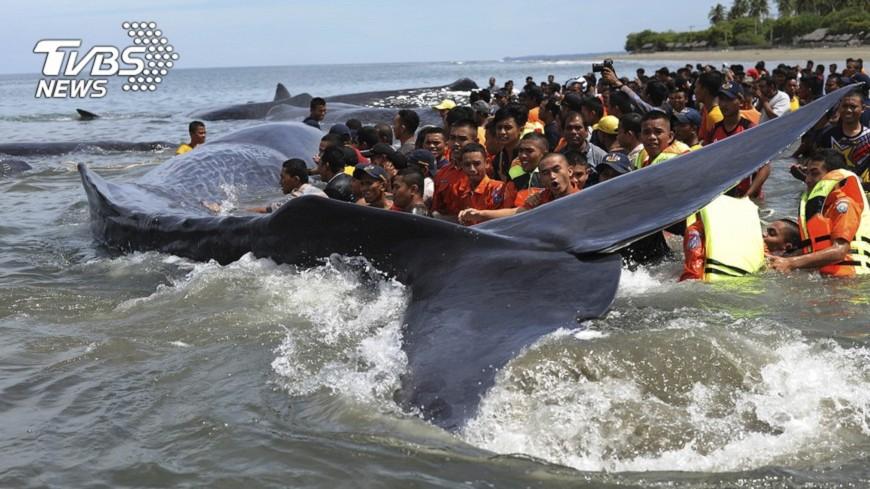 圖/達志影像美聯社 12條抹香鯨集體擱淺 印尼民眾出動救援