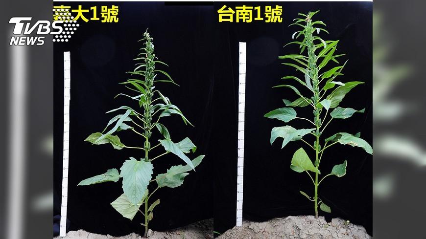 圖/中央社 嘉大研發新品種胡麻 可望增加本土產量