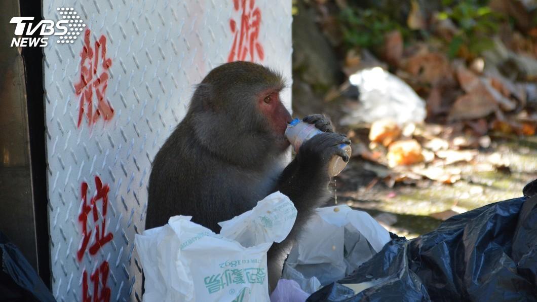 圖/中央社 降級!台灣獼猴數量增至30萬 決議移出保育類