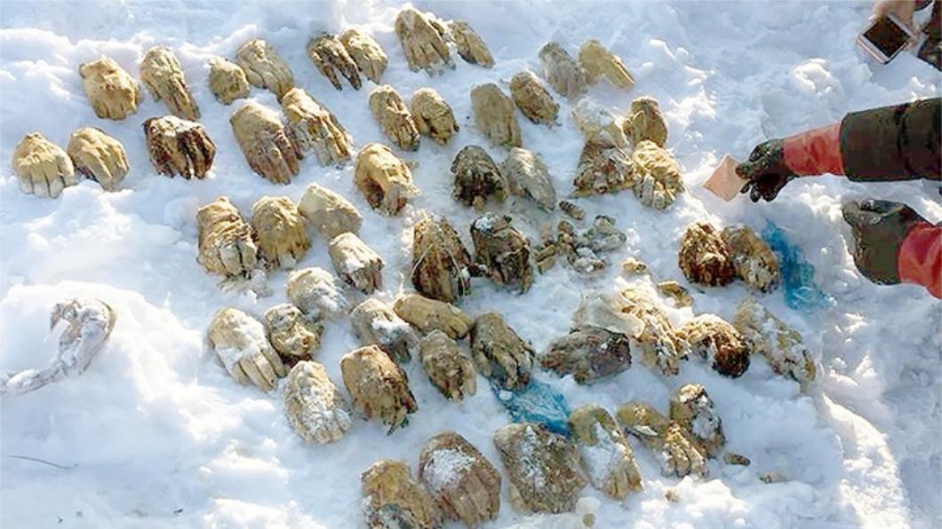 圖/翻攝自西伯利亞時報。下同 雪地驚悚挖出54隻斷掌 推測器官走私者砍下