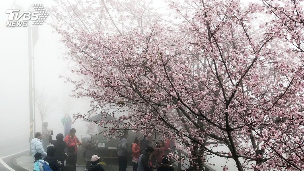 圖/中央社 為花季暖身! 阿里山公路櫻花盛開了