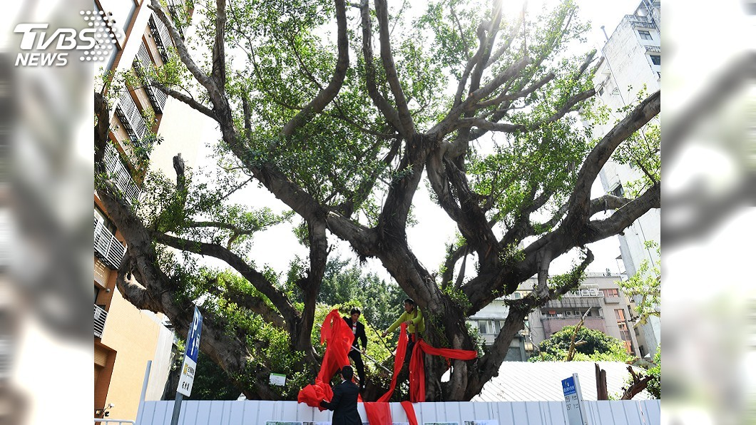 圖/中央社 百年老樹被迫遷移 護樹團體籲原地保留
