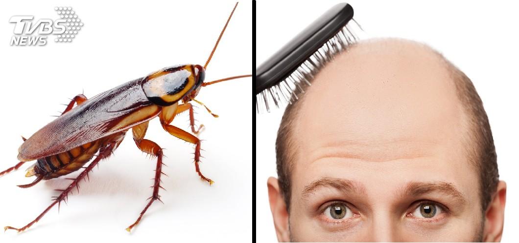 圖/TVBS 害蟲變仙丹?頑強蟑螂有望成「禿頭救星」