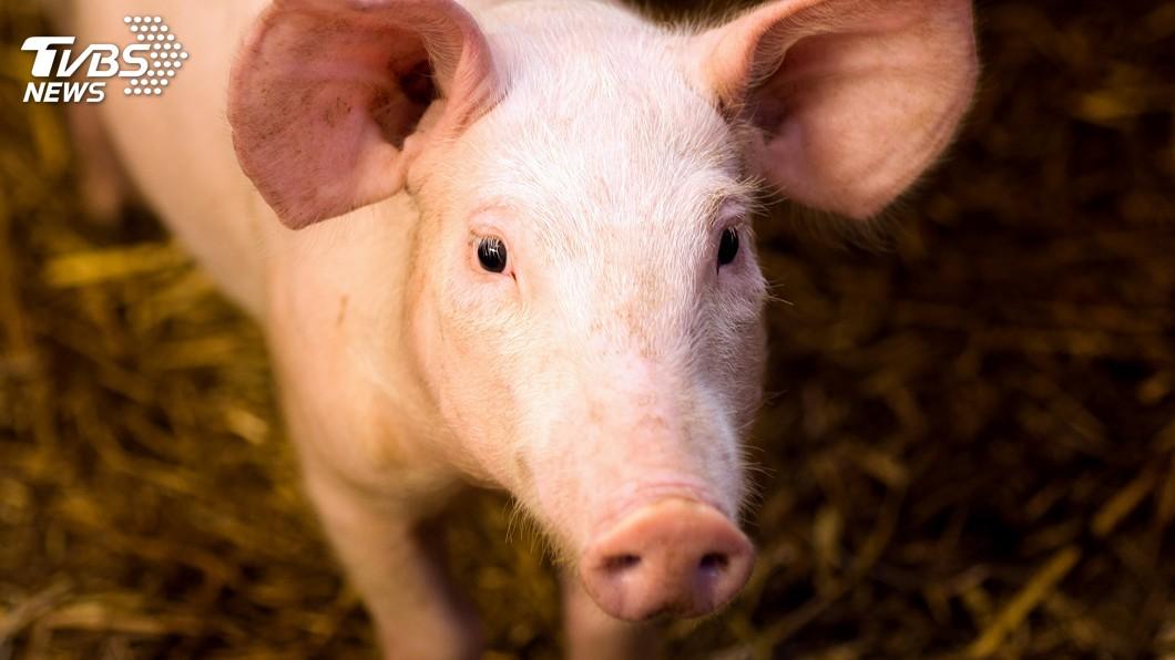 示意圖/TVBS 世界首例! 陸培育神經退化性疾病基因敲入豬
