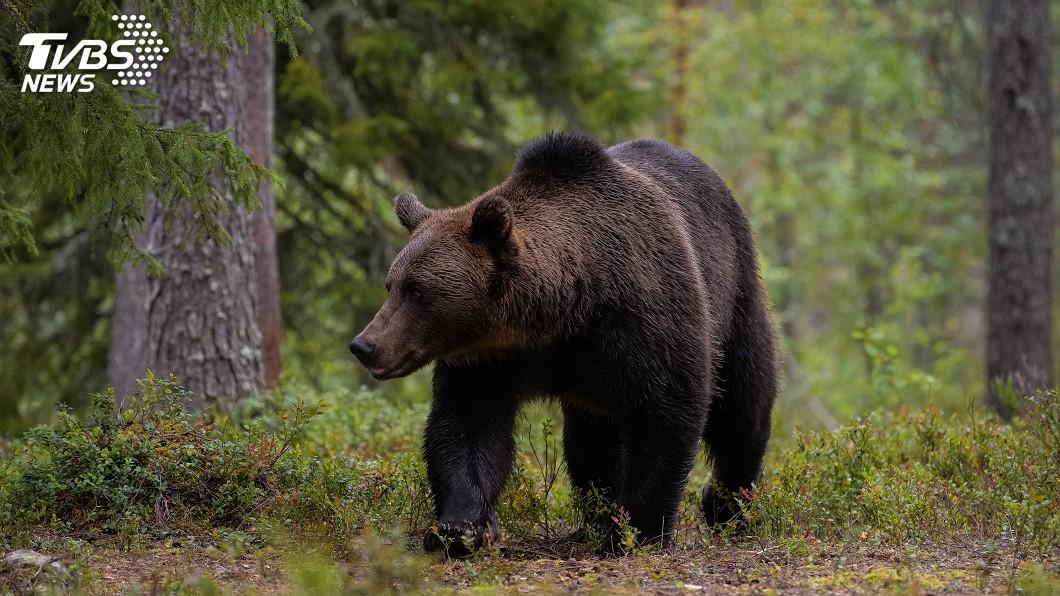 印度一隻大黑熊出沒攻擊農民,3人不幸被牠咬死,事後其他村民逮到牠將她活活打死。(示意圖/TVBS) 驚!採花遭黑熊攻擊 3農民慘遭咬死