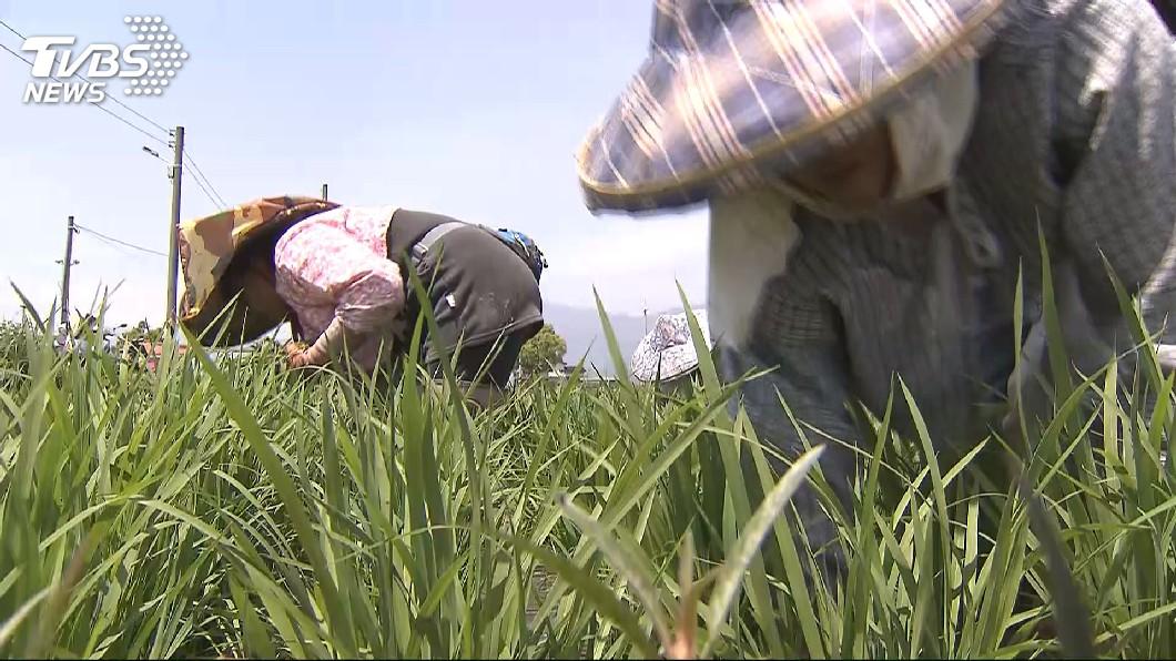 圖/TVBS 紓解農業缺工 陳吉仲:4月引進印尼450名研習生