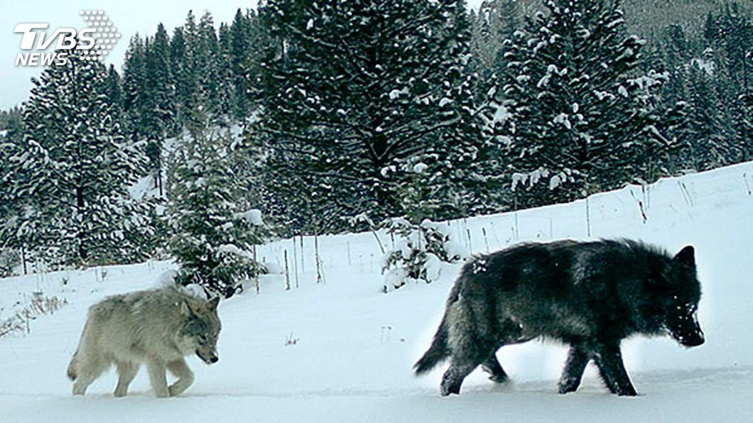 圖/達志影像美聯社 西伯利亞反生存法則 出高價鼓勵獵殺狼群