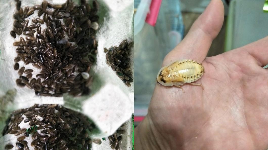 謝瑋晏靠養殖蟑螂每年進帳300萬,堪稱「蟑螂大王」。圖/翻攝自 臉書