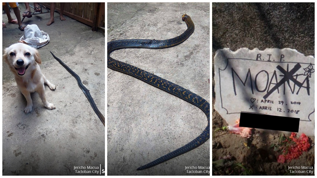 菲律賓一隻忠犬和眼鏡蛇搏鬥,最後不幸毒發身亡。(圖/翻攝自臉書) 忠犬護主搏鬥眼鏡蛇…牠露出「勝利微笑」 下一秒倒下亡