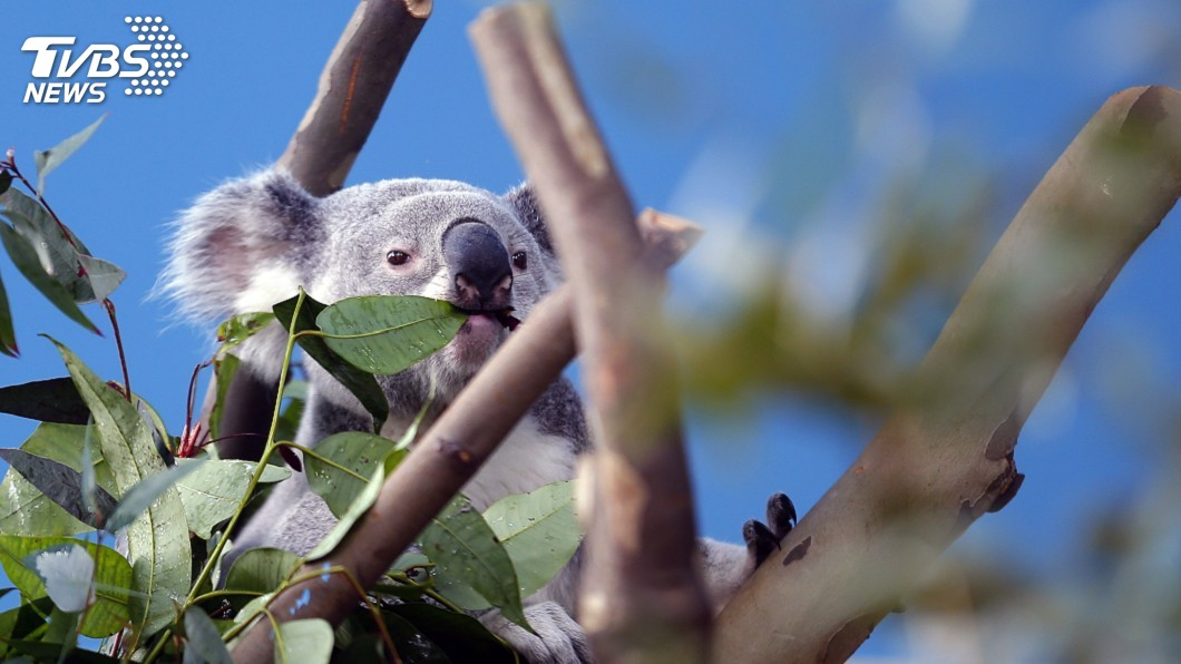 圖/達志影像路透社 野生無尾熊剩4萬隻 澳洲砸十億保育