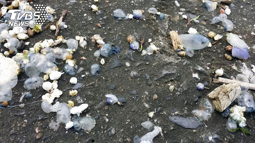 圖/中央社資料畫面 小心!世界第3毒僧帽水母東海岸現蹤 屍體活體都毒