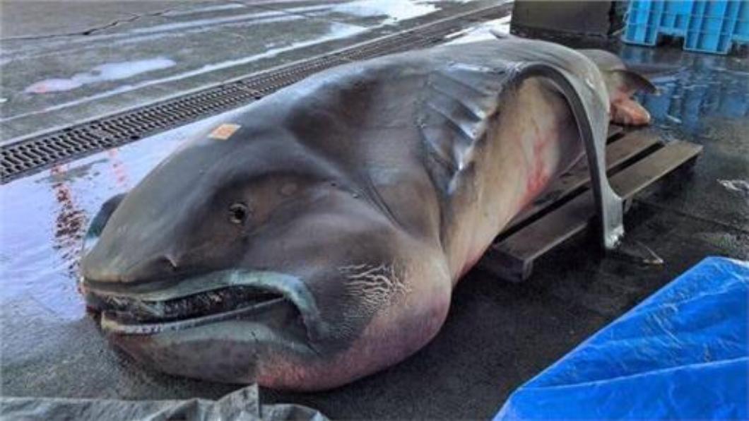 這張2016年拍攝的巨口鯊,近日再度瘋傳日本推特。圖/翻攝自推特 日瘋傳「地震魚」出沒照 遭主播揭穿是盜用的