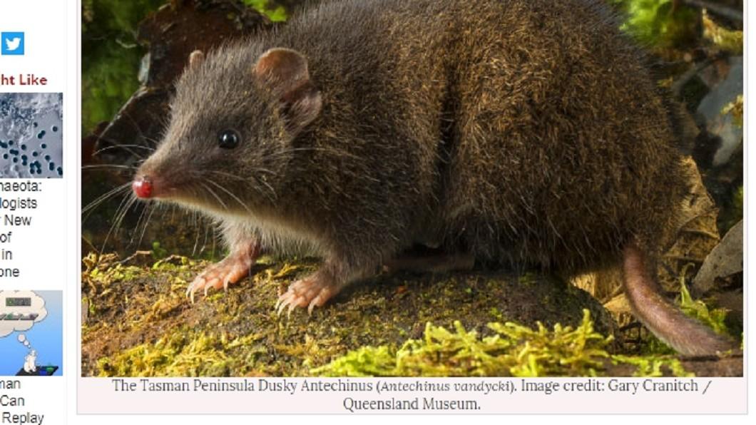 圖/翻攝自Sci-News.com 澳洲袋鼩僅剩250隻瀕絕種 竟是「瘋狂交配」惹禍