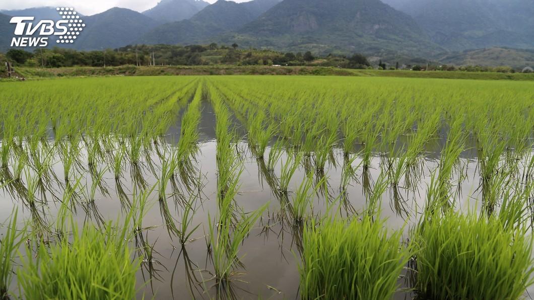 外界關注明年全台一期稻作是否會休耕。(圖/中央社) 一期稻作是否休耕? 農委會:最慢11月下旬決定