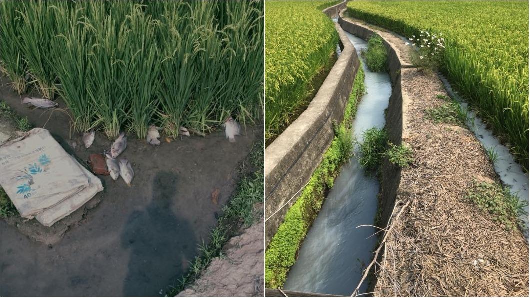 圖/翻攝自爆料公社 這米誰敢吃? 農田驚見「牛奶河」魚群全翻肚