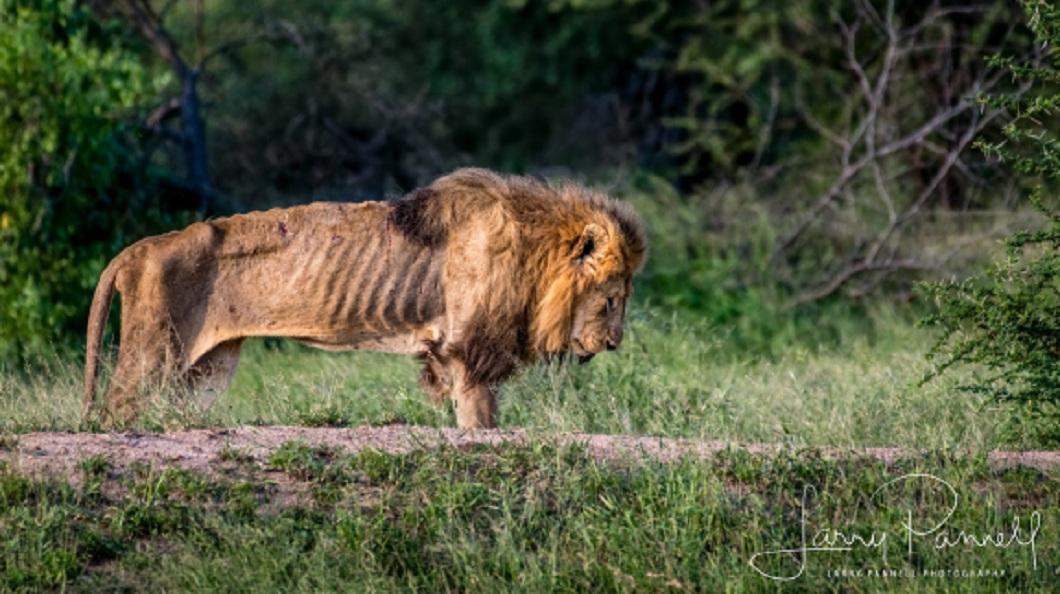 這隻落難的獅王,整個身軀骨瘦如柴,毫無勇猛氣勢。(圖/翻攝自推特) 王位被奪…落難獅王骨瘦如柴 孤獨死去