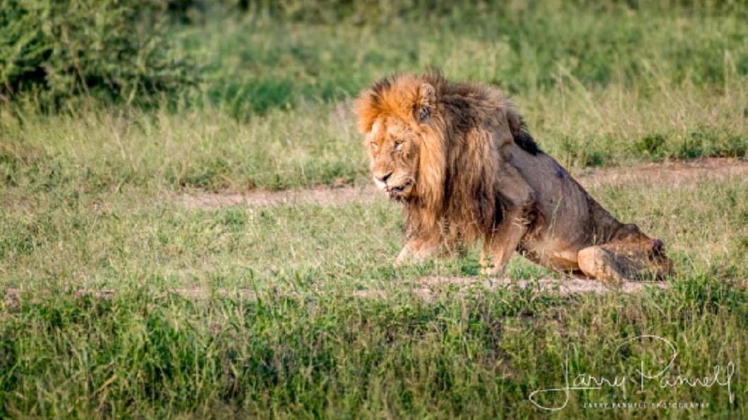 這隻獅王整個呈現落寞的神情。(圖/翻攝自推特)