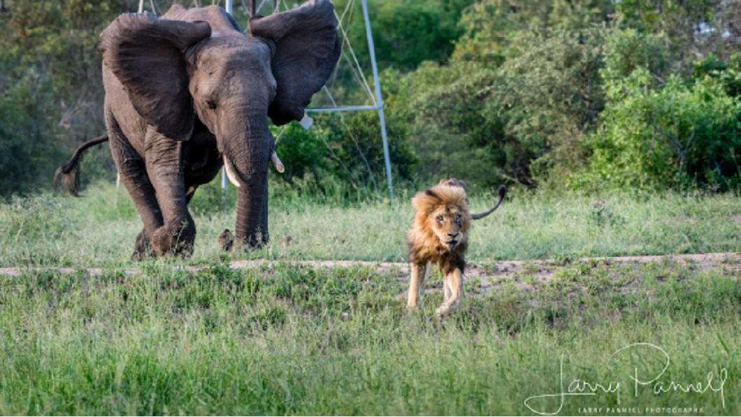 獅王還被捕捉到被大象追趕,模樣十分狼狽。(圖/翻攝自推特)