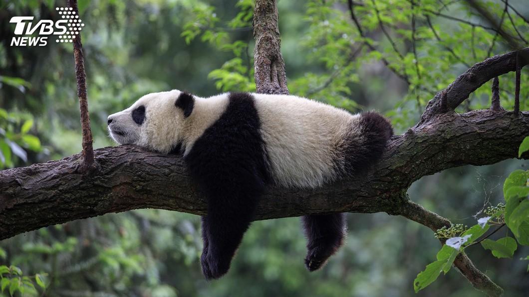 示意圖/TVBS 四川臥龍發現新的貓熊棲息地 貓熊寶寶不怕人
