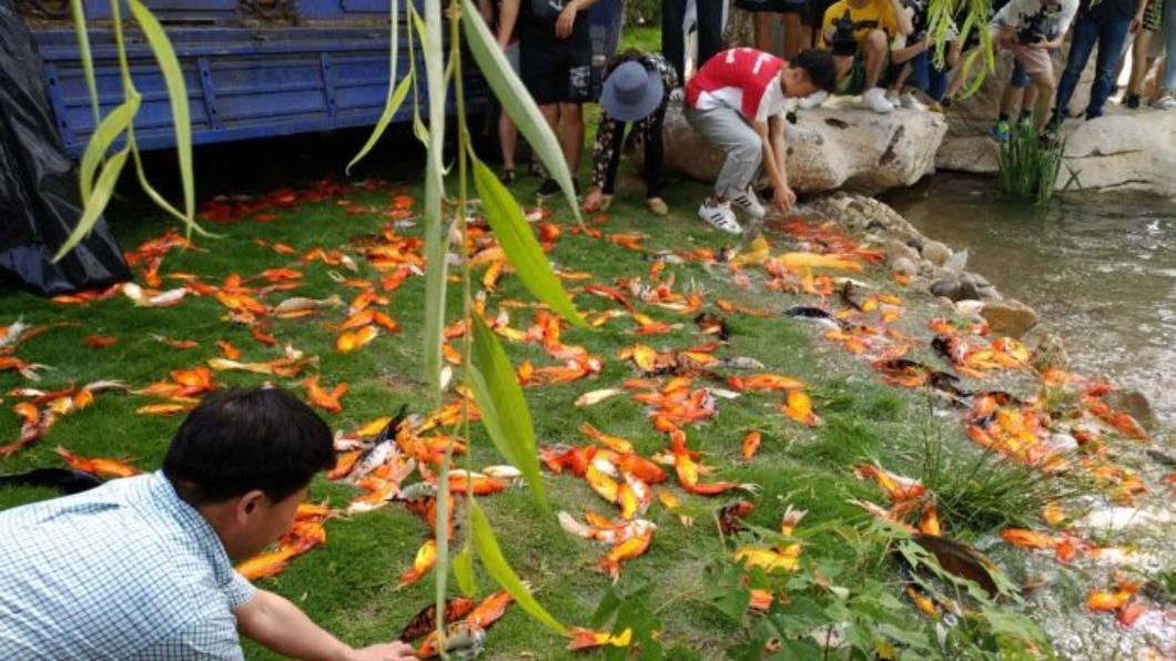 圖/翻攝自微博 扯!工人手滑全噴出 逾萬活魚草地狂跳求生