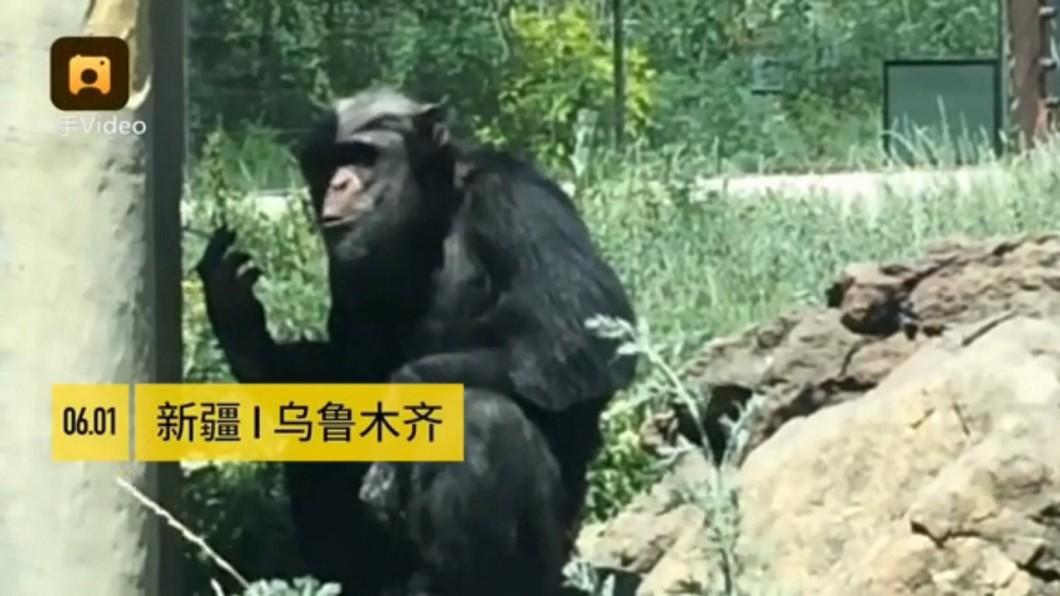 圖/翻攝自《微博》 遊客亂丟菸蒂起鬨 害黑猩猩「吞雲吐霧」染菸癮
