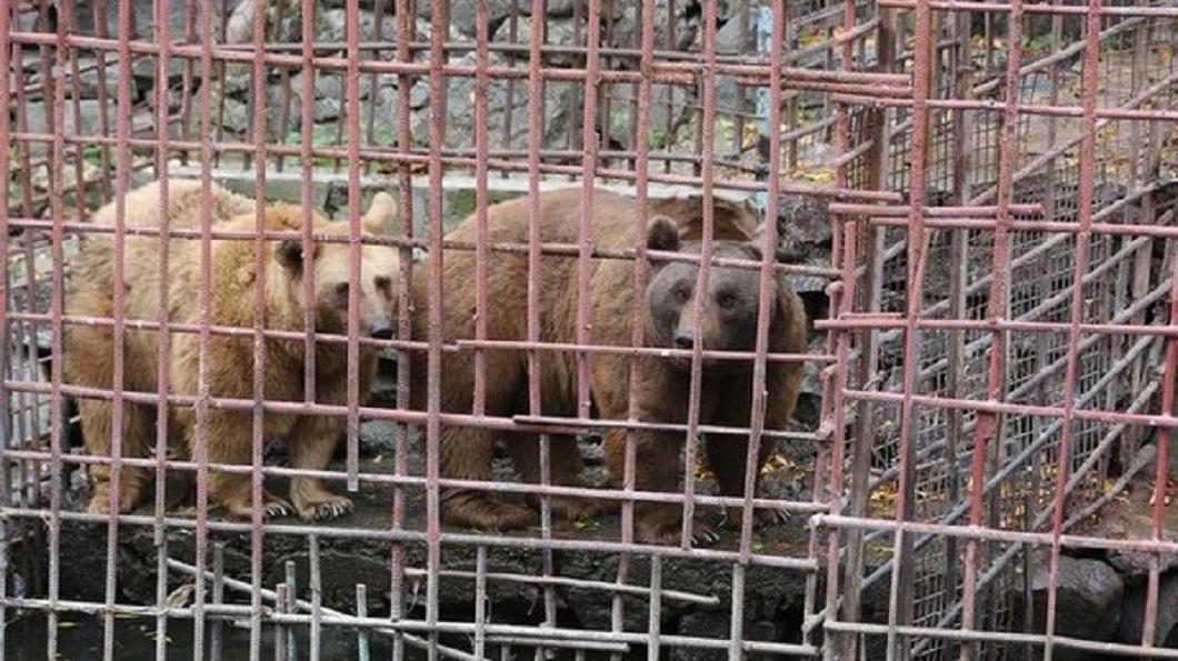 亞美尼亞一對棕熊夫妻,被人類囚禁了10年。(圖/翻攝自International Animal Rescue臉書粉絲團) 被人類囚「水牢」10年 棕熊夫妻獲救產下2寶寶