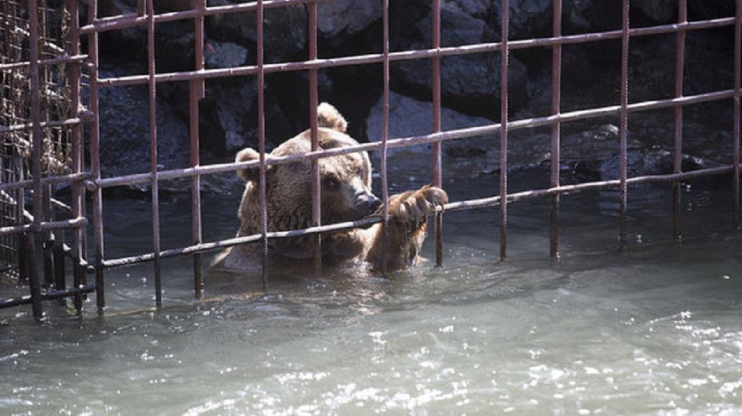 鐵籠就建在河床旁邊,一旦河水漲潮,棕熊就只能浸在水裡。(圖/翻攝自International Animal Rescue臉書粉絲團)