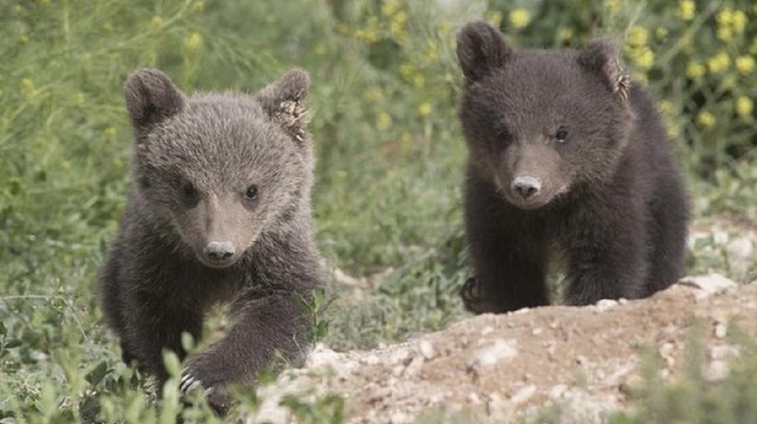 棕熊夫妻被救出後,2個多月前母棕熊順利產下2隻小寶寶,目前活潑健康。(圖/翻攝自International Animal Rescue臉書粉絲團)