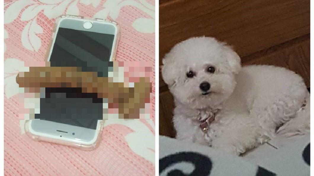 圖/爆廢公社 正妹飼主要出門 狗狗秒拉「完美一條」橫跨手機