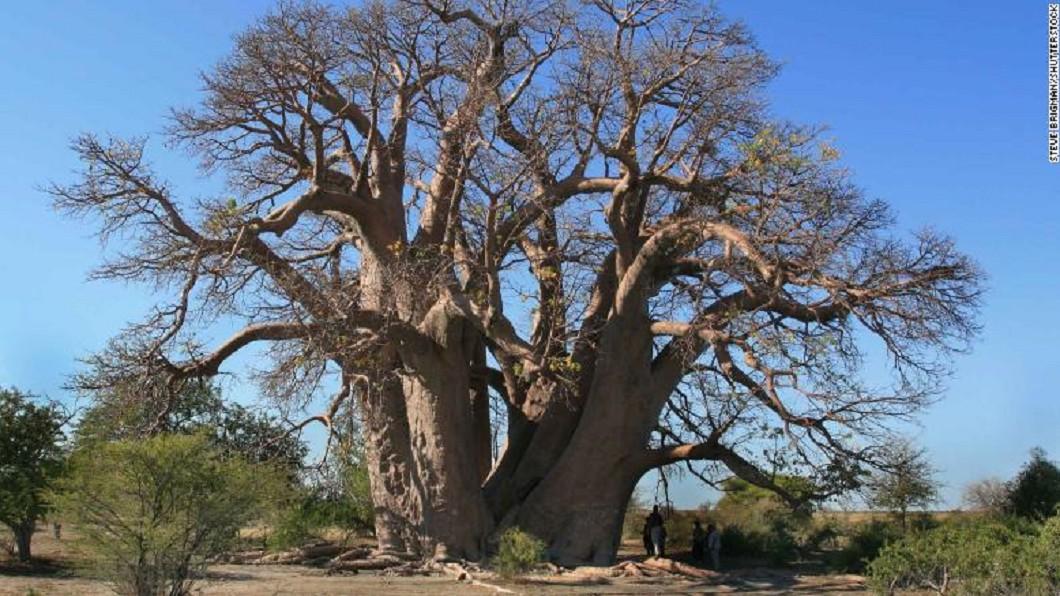 圖/翻攝CNN 猴麵包樹存活2500年爆「離奇死亡潮」恐跟它有關