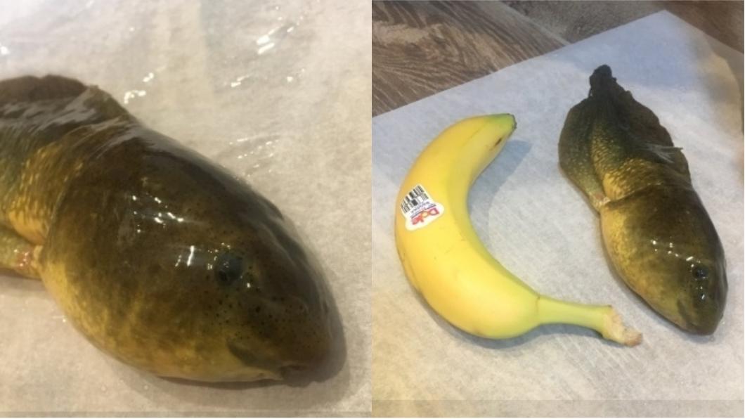 圖/翻攝自Twitter 女博士生捕獲「怪物蝌蚪」 體型大到跟香蕉一樣粗