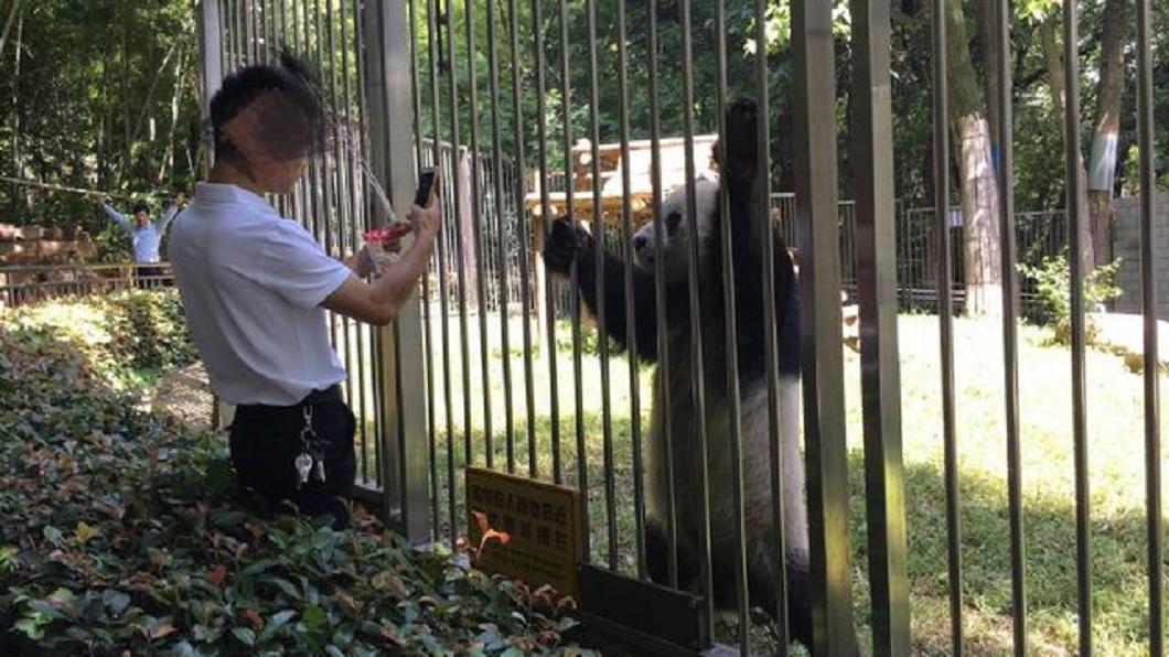 遊客翻牆為了更接近貓熊。圖/翻攝自微博@遲爾2014