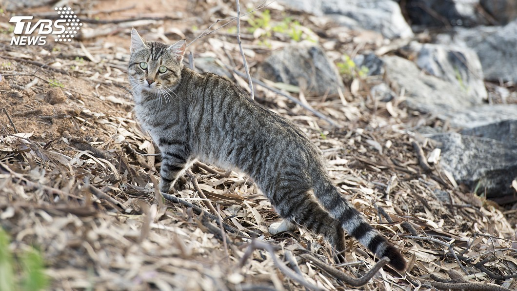 澳洲爬行动物濒危 竟是野猫惹的祸