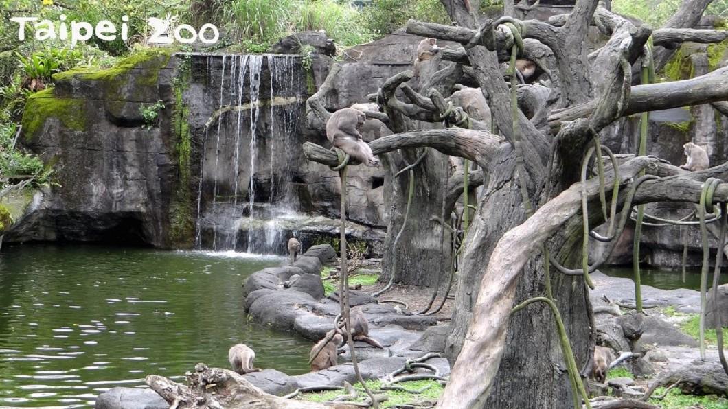 圖/翻攝自台北市立動物園網站 野猴擅闖動物園還「打女人」 遭猴王撂猴圍毆