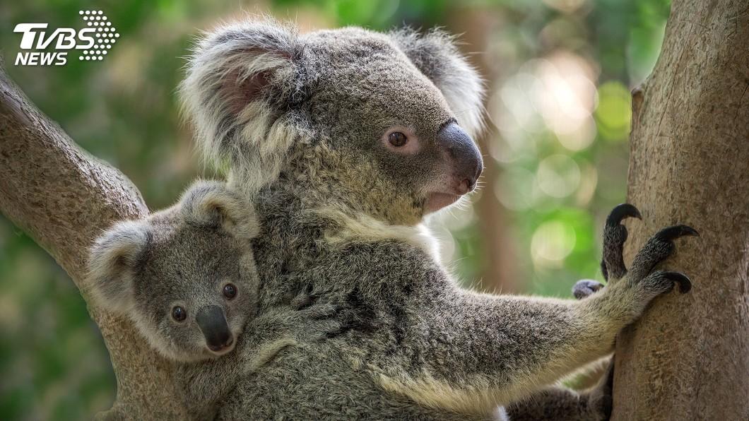 為避免無尾熊太累,昆士蘭政府規定無尾熊每天只能與10人互動。圖/TVBS 無尾熊也有勞基法! 每日「上班」僅見10客人