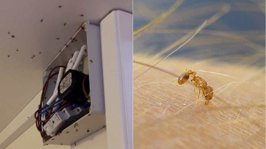 圖/翻攝自YouTube、維基百科 比紅火蟻可怕?「電蟻」鑽進變電箱 可能引發火警