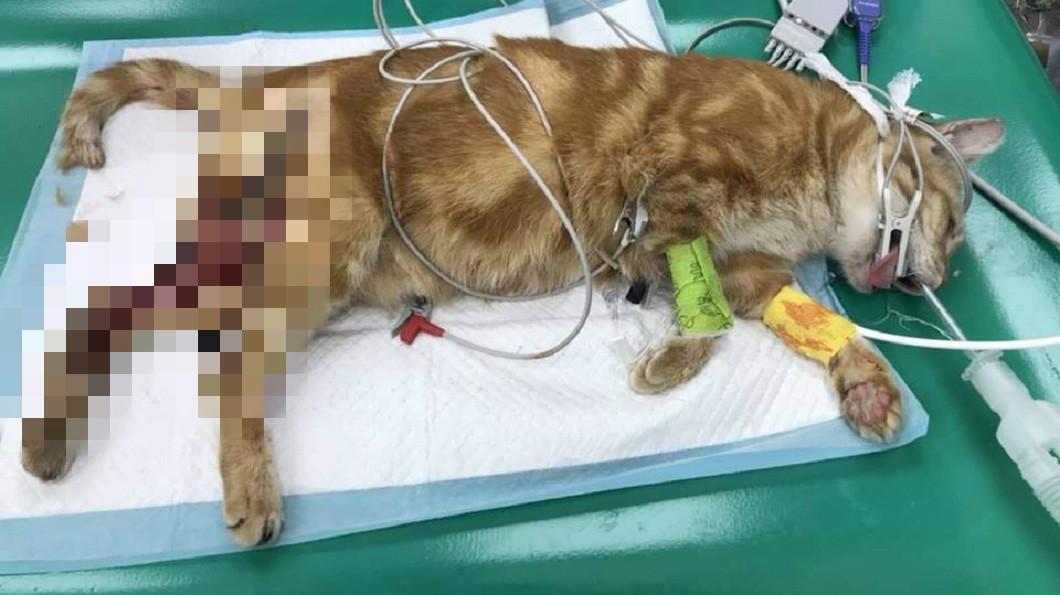 流浪貓們受傷的部位幾乎都在後肢。(圖/台北市支持流浪貓絕育計劃協會提供)