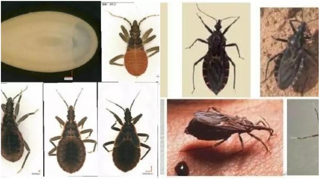 圖/翻攝自《微博》 全城懸賞抓蟲 被咬傷恐染「新型愛滋病」?